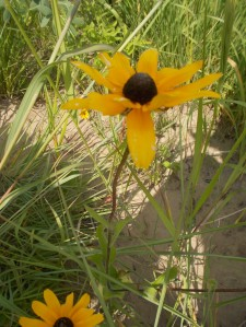 Black-eyed susans have the distinctive dark center and fuzzy almost piercing stems.