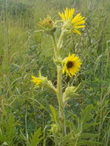 A huge species of sunflower, they can grow over seven feet in a single growing season! Their leaves point north!